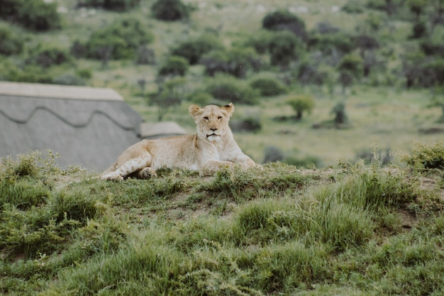 Lion cub on the hill laying on the ground and looking at the camera