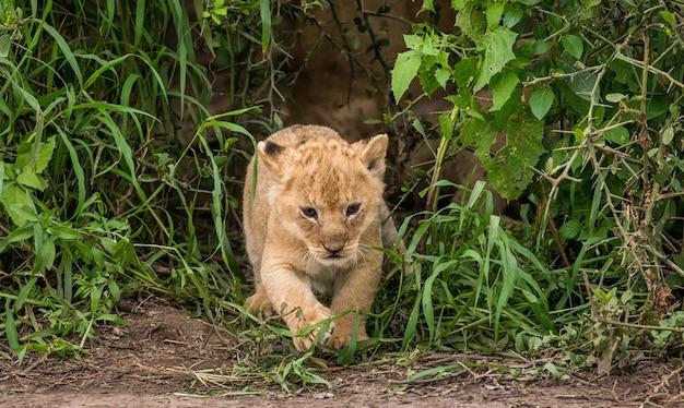 草の中のライオンの子