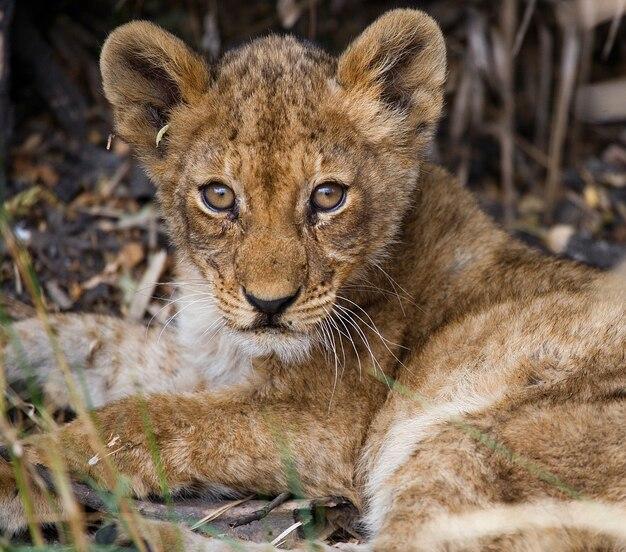 Львенок сидит в траве