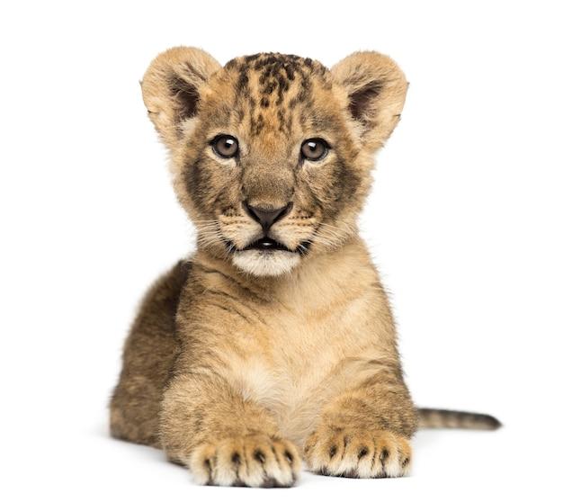 白で隔離されるカメラを見て横になっているライオンの子