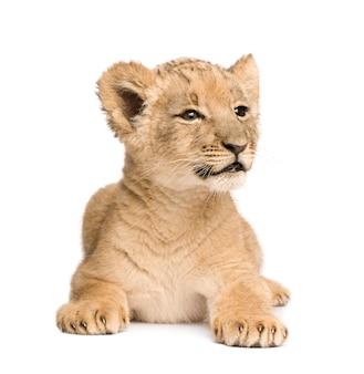 Lion cub на белом изолированные