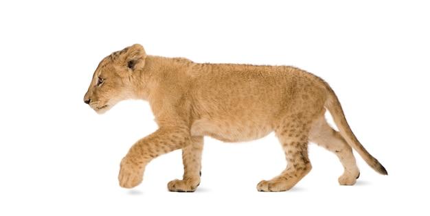 分離された白のライオンカブ