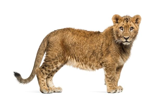 ライオンの子に立って、カメラを見て