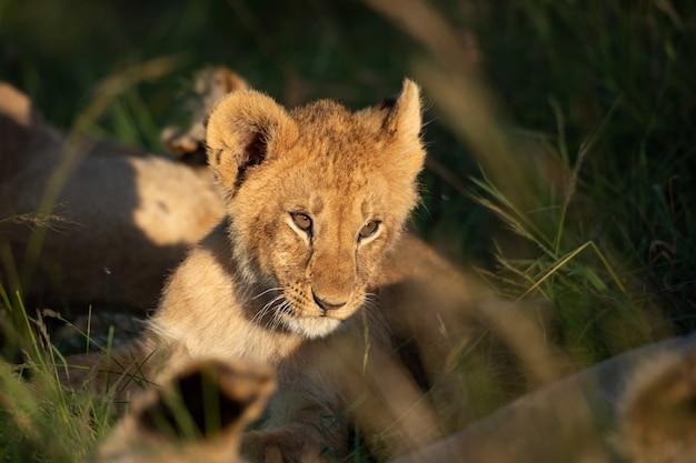 ライオンの子