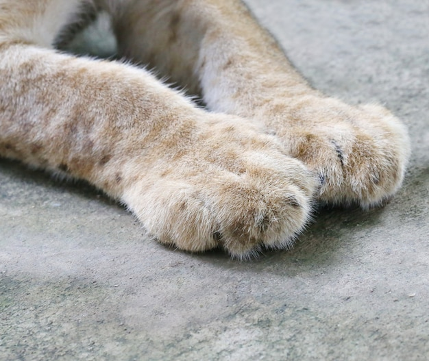 Lion cubs foot