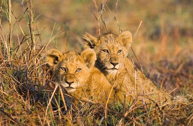 Львята в траве