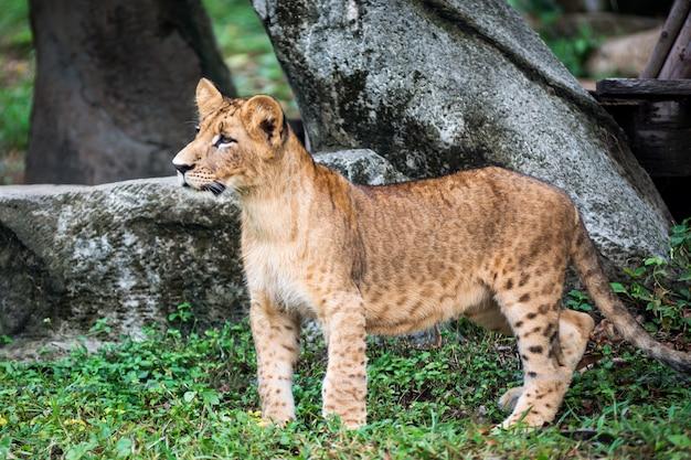 ライオンの子は面白いものを見て立っています。