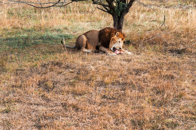 A lion eats a piece of raw meat under a tree