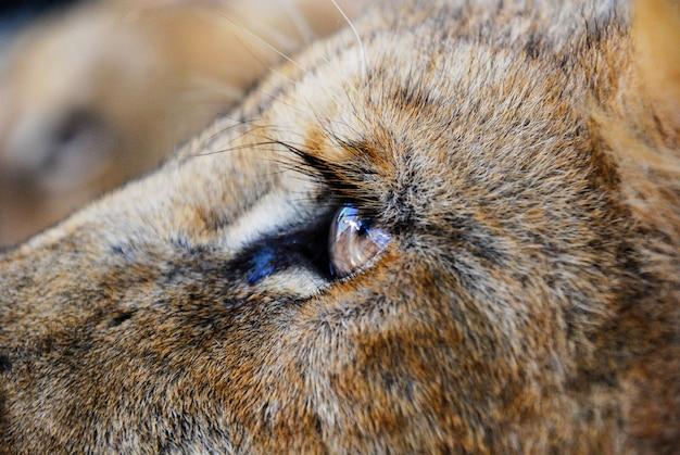 A lion eye