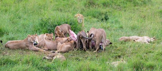 Семья львов ест буйвола между высокой травой