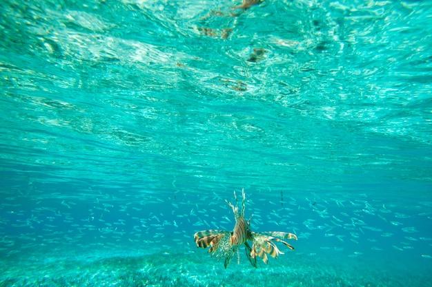 水の下で泳ぐライオン魚