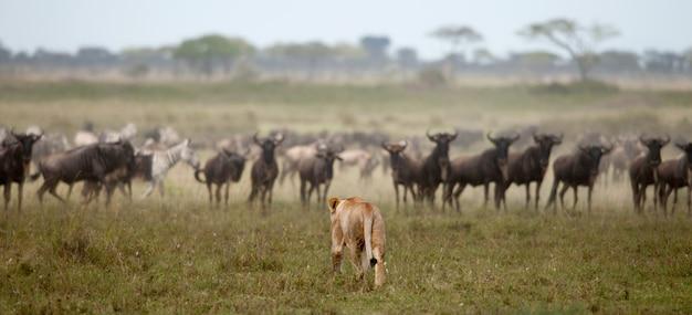 Лев находится в национальных парках восточной африки