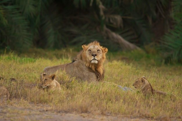 Lion and his cubs in the savannah
