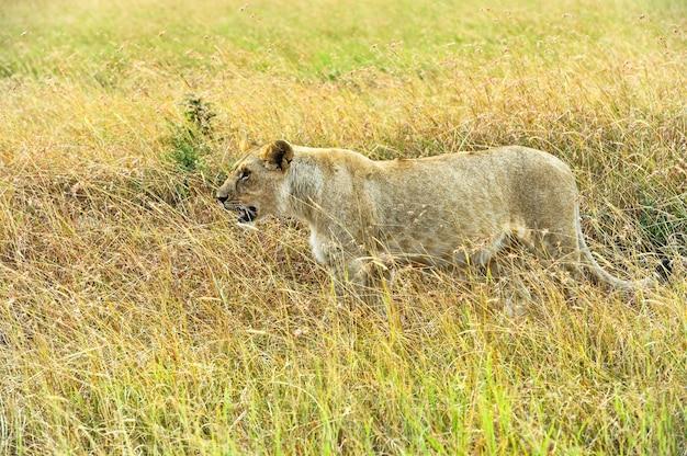 アフリカのサバンナでの獅子狩りマサイマラ