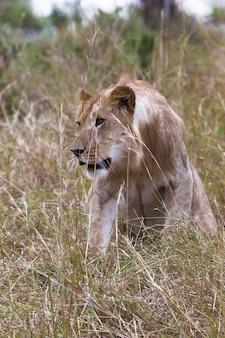 獅子狩りケニアアフリカの厚い草で若いライオン