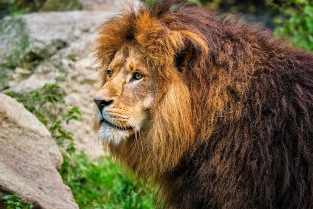 自然の中でジャングルの森のライオン