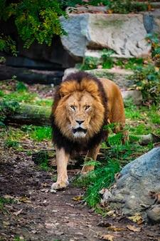 Лев в лесу джунглей на природе