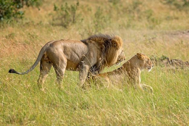 アフリカ、ケニアの国立公園のライオン