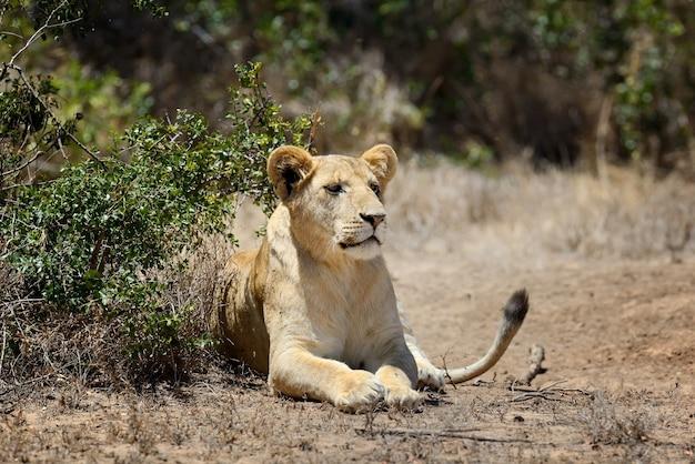 ケニア、アフリカの国立公園のライオン