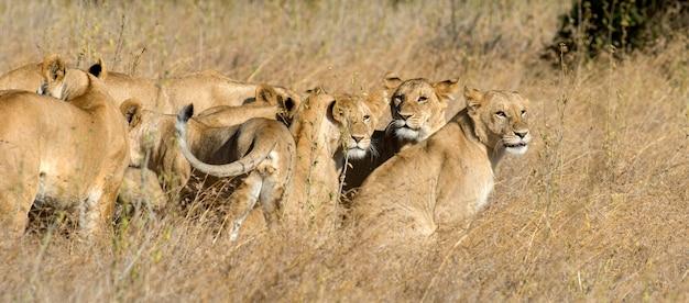 Лев в национальном парке кении, африка