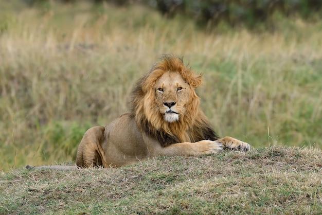 Лев в национальном парке кении