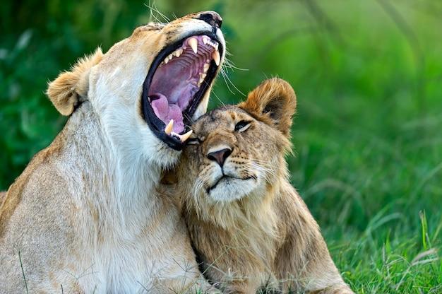 Лев в африканской саванне масаи мара