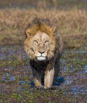 Лев идет по болоту