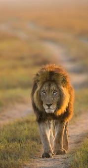 Лев уже в пути