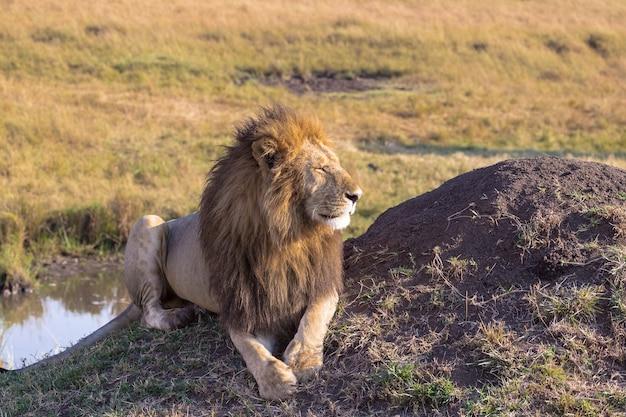 Лев отдыхает у воды африка масаи мара кения