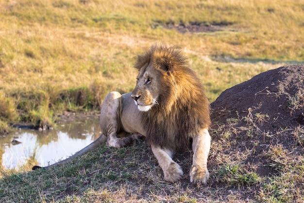 Лев отдыхает у воды саванна масаи мара кения