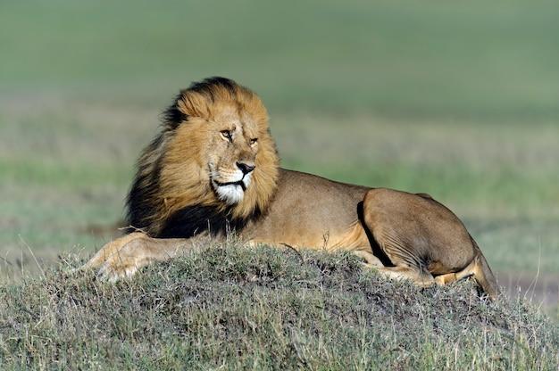 Lion in its natural habitat. africa, kenya.