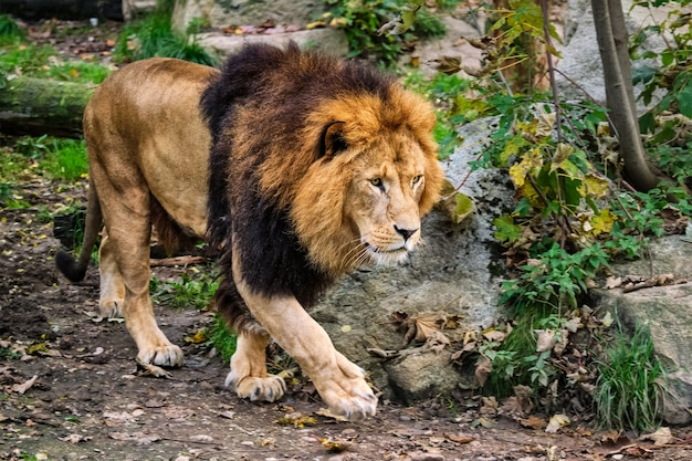 Lion in jungle forest in nature