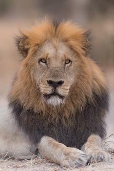 Лев лежит на земле, глядя в сторону