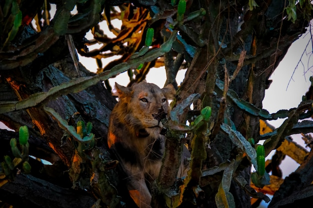 Lion laying in the middle of trees near cactuses