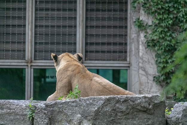 Lion laying on a stone surrounded by greenery and buildings in a zoo