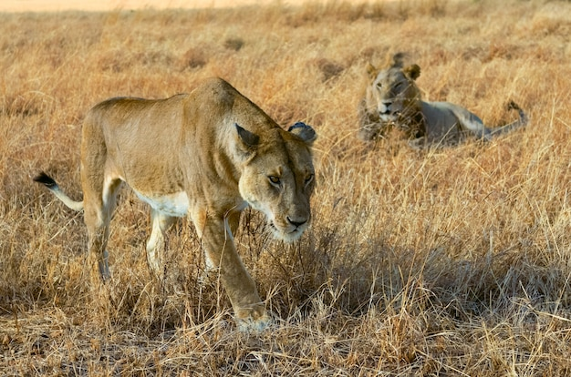 Lion and lioness couple in savannah, africa, masai mara national park in kenya