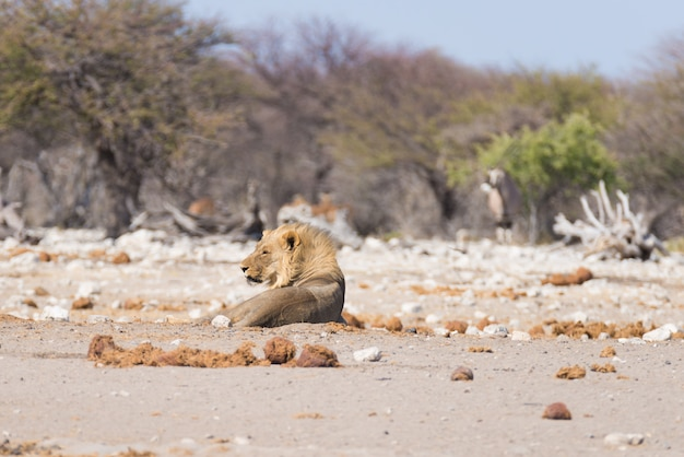 Lion lying down on the ground. wildlife in the etosha national park, namibia, africa.