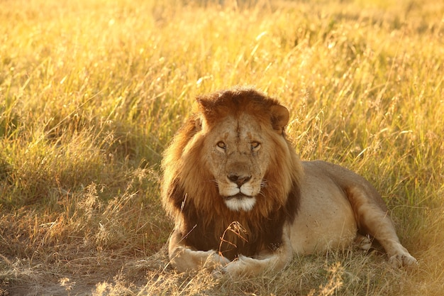 日光の下で草で覆われたフィールドに横たわっているライオン