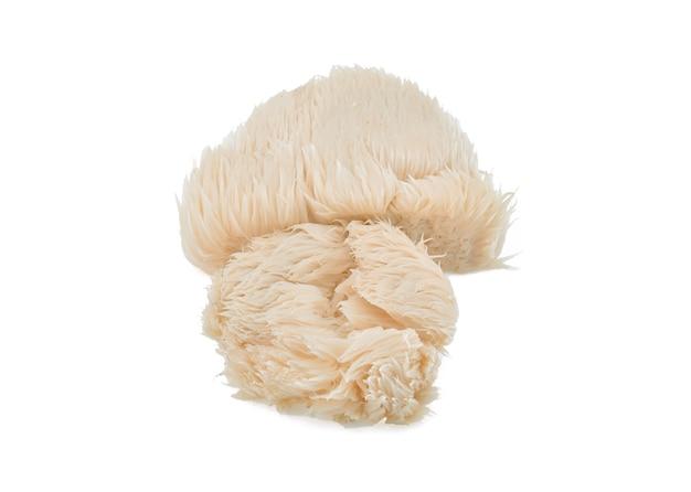 고립 된 사자 갈기 버섯
