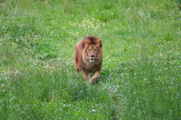 Lion in a natural environment