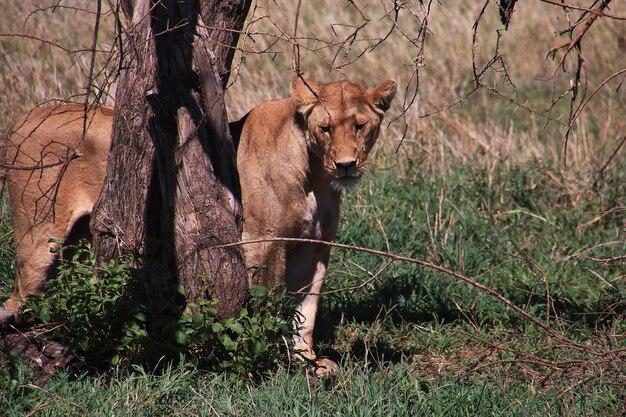アフリカのケニアとタンザニアのサファリのライオン