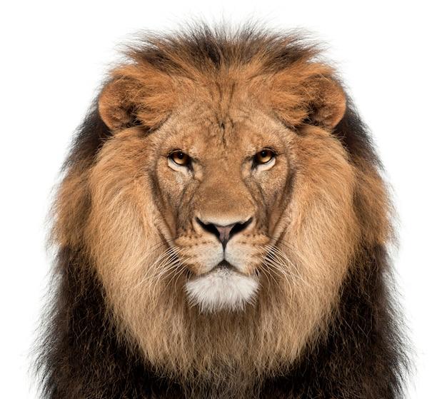 Лев на белом в студии