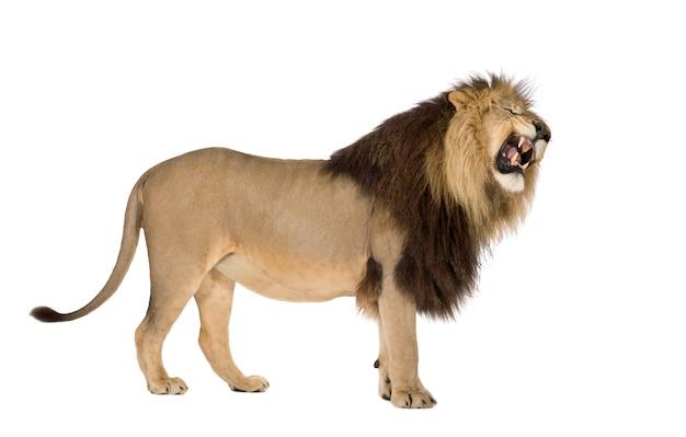 分離された白のライオン、パンテーラレオ