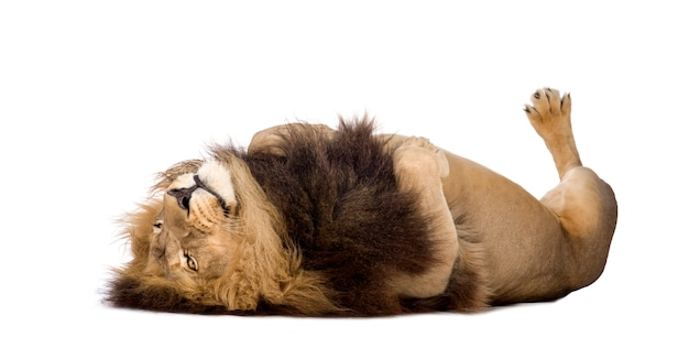 Лев, пантера лев на белом изолированные