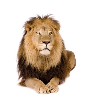 Lion, panthera leo on a white isolated