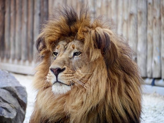 Лев портрет грива хищник зоопарк
