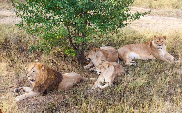Гордость льва под деревом в саванне