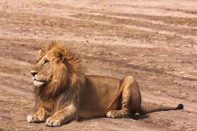 Лев отдыхает на песке в африке