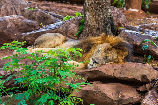 Lion resting and sleeping near a tree