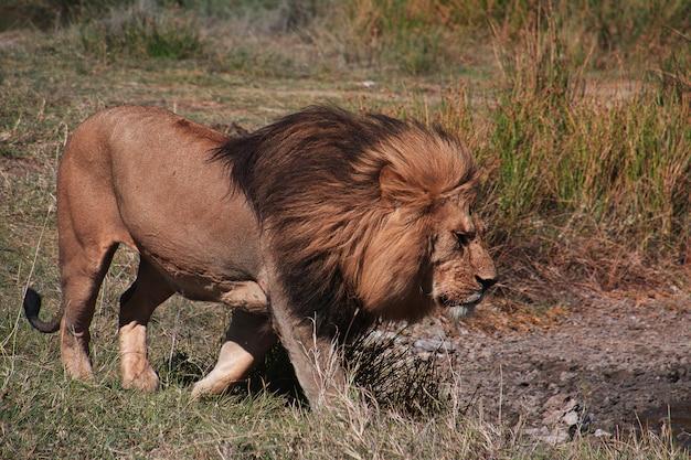 Lion on safari in kenia and tanzania, africa